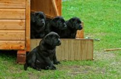 Blue peter puppies, two of them  both getting CC lateron at Crufts 2009