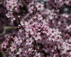 Pink Blossoms by Randal Day