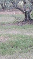 Les oliviers et un petit lievre