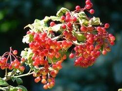 American Cranberry