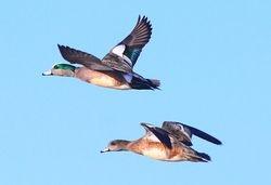 American Wigeon Couple in Flight
