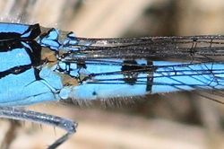Thorax and abdomen of the common blue.