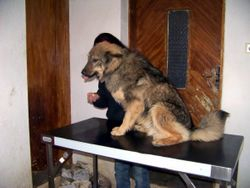 Khan tries out the Vet table from Julie and Colin Lewis