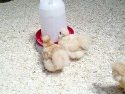 2 Buff Hens