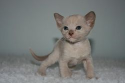 1 month old - Choc boy - Tim