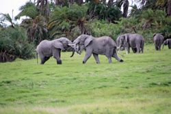 Elephants Fighting - Amboseli Game Reserve