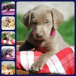 Regal Labradors
