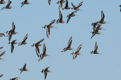 Migration mi-octobre. Migrating godwits.
