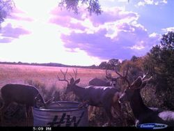 Nice Herd of Deer Drinking Water