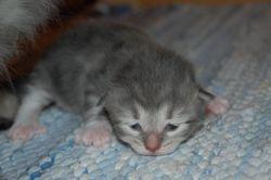 Anastasia er først ut med å åpne øynene, 13 dgr gammel.