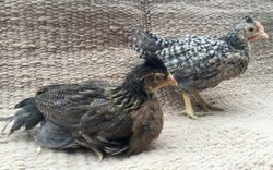 Juvenile pullet and cockerel