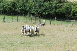 Matisse on sheep for the first time