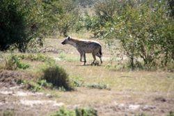 Silverback Jackal - Masai Mara Game Reserve
