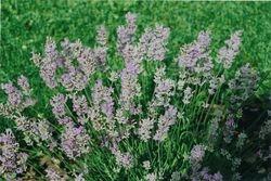 Lavender 2009