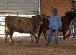 Two Skye High Junior Yearling Heifers