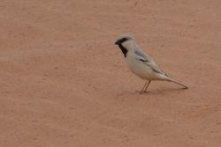 Desert Sparrow  (MOINEAU BLANC)