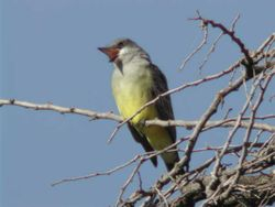 Cassin's Kingbird  (Tyran de Cassin)