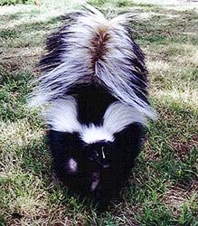 Adult Striped-Skunk