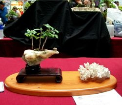 Erethia buxifolia (Fukien tea)