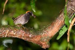 Galinha-do-mato (Formicarius colma)