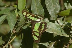 Borboleta verde ( Siproeta stelenes )