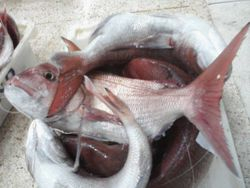 red banded sea bream