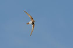 Alpine Swift  -  MARTINET ALPINE