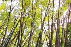 Bambuas del Hatchery