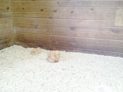 Buff hens