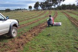 Hand planting seedlings into rip lines