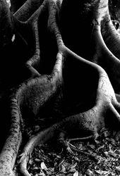 Banyon Tree- BW