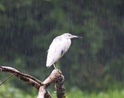 Juvenile Little Blue Heron (very wet!)