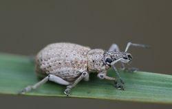 Weevil Bug