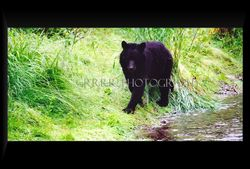 Black Bear foraging on the river bank
