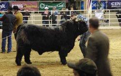 Jr. Yearling Bull Class