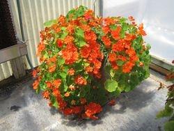 Giant Nasturtium Basket