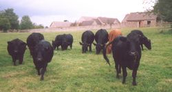 Beef on the hoof!
