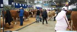 Simmentals on display