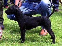 Black Patterdale/Fell Terrier.