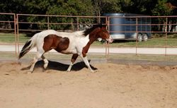 Yearling - APHA tobiano colt by Sparks Black Jack