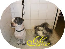 Lhasa Apso - After