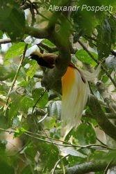 Lesser Bird of Paradisea, (Paradisea minor), Wanang