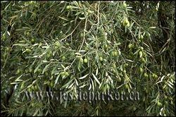 Olives,Spain