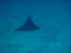 An eagle ray at Sandy Cay