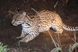 Jaguatirica ( Leopardus pardalis ) Ocelot