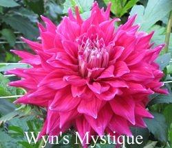 Wyn's Mystique A SC DkPk