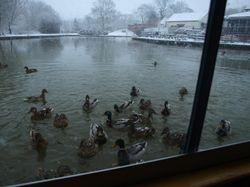 Hungry ducks!