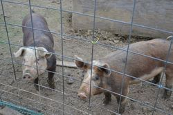 Hereford Pigs~Gilts