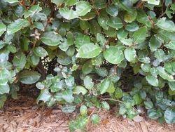 false oleander scale on silverthorn