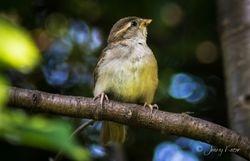 Junger Spatz auf Ast / Young sparrow